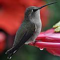 Hummingbird Anna's On Perch by Jay Milo
