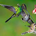 Hummingbirds At Feeder by Anthony Mercieca
