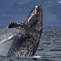 Humpback Whale Breaching Prince William by Hiroya Minakuchi