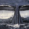 Humpback Whale Fluke by Ron Sanford
