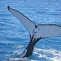 Humpback Whales by Carol Ailles