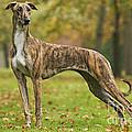 Hungarian Greyhound by Jean-Michel Labat