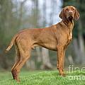 Hungarian Vizsla Dog by John Daniels