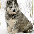 Husky Dog Puppy by M. Watson