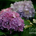 Hydrangea by Living Color Photography Lorraine Lynch