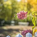 Hydrangeas In The Autumn Sun by Diane Diederich