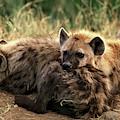 Hyene Tachetee Crocuta Crocuta by Gerard Lacz