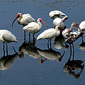 Ibis 10 by J M Farris Photography