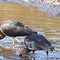 Ibis by Robert Floyd