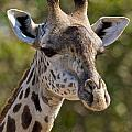 I'm All Ears - Giraffe by D Hackett