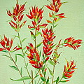 Indian Paintbrush by Virginia Ann Hemingson