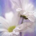 Iris Daisy by Janice Sullivan