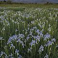 Iris Field by John Shaw