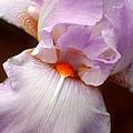 Iris by Karen Adams