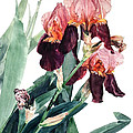 Watercolor Of A Pink And Maroon Tall Bearded Iris I Call Iris La Forza Del Destino by Greta Corens