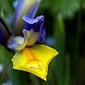 Iris by Nigel Watts