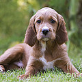 Irish Setter Puppy by Jean-Michel Labat