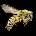 Ivy Bee by Us Geological Survey