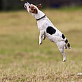 Jack Russell Jumping For Ball by Brian Bevan