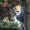 Jaguar by Barry Spears
