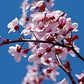 Japanese Cherry Tree by Gallery Of Modern Art