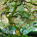 Japanese Maple Tree by Athena Mckinzie