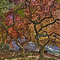 Japanese Maples Trees by Jerry Gammon