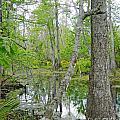 Jean Lafitte Swamp by Lizi Beard-Ward