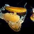 Jellyfish by John Magyar Photography