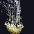 Jellyfish Of Aquarium Of The Bay San Francisco by LeeAnn McLaneGoetz McLaneGoetzStudioLLCcom
