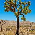 Joshua Tree 28 by Alex Snay