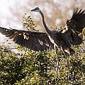Juvenile Blue Heron by Sandy Swanson