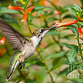 Juvenile Male Ruby-throated Hummingbird by Dawna Moore Photography