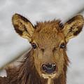 Juvenile Pa. Elk by Nathan Harker