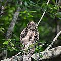 Juvenile Red Shouldered Hawk by Jai Johnson