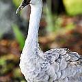 Juvenile Sandhill Crane Grus Canadensis Pratensis II Usa by Sally Rockefeller