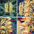 Kahili Ginger - Hedychium Gardnerianum - Kula Maui Hawaii by Sharon Mau