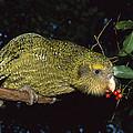 Kakapo Feeding On Supplejack Berries by Tui De Roy
