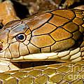 King Cobra by Millard H. Sharp