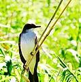 Kingbird by Art Dingo