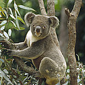 Koala Male In Eucalyptus Australia by Gerry Ellis