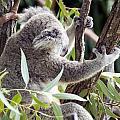 Koala by Milena Boeva