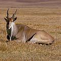 Eland Antelope In Kenya by Carl Purcell