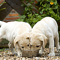 Labrador Puppies Eating by Jean-Michel Labat