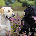 Labrador Retriever Dogs by John Daniels