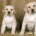 Labrador Retriever Puppies by John Daniels