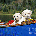 Labrador Retriever Puppies by Rolf Kopfle