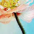 Lady Poppy by Angela Doelling AD DESIGN Photo and PhotoArt