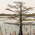 Lake Mattamuskeet Nature Trees And Lants In Spring Time  by Alex Grichenko
