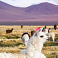 Lama On The Laguna Colorada In Bolivia by Mariusz Prusaczyk